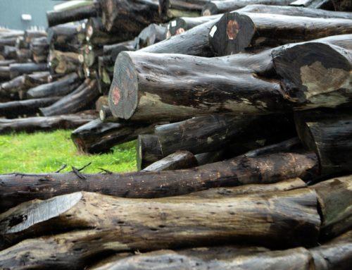國產材明日之星,相思木做樂器、木地板虜獲外國人的心