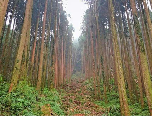 「林產物伐採查驗規則」修正頒布 簡化人工林疏伐木查驗程序
