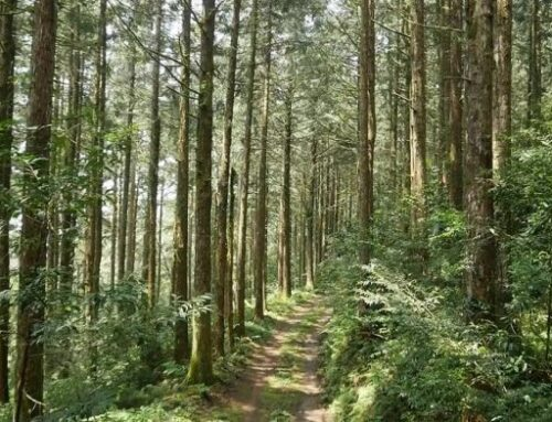 40年臺灣杉試驗林首度疏伐 林試所:撫育林木、提高木材自給率